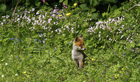 Fox Cub Heaven Stock Photography