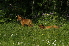 Fox Cub Heaven Stock Photo