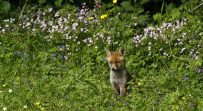 Fox Cub Heaven Royalty Free Stock Photography