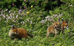 Fox Cubs Playing in Wild Flower Meadow Royalty Free Stock Photos