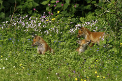 Fox Cub Heaven Royalty Free Stock Photos