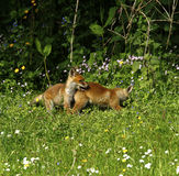 Fox Cub Heaven Royalty Free Stock Image