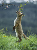 Fox cub on hind legs sniffing branch Royalty Free Stock Photography