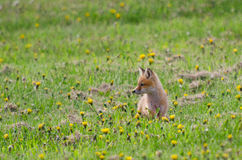 Fox cub in meadow stock images