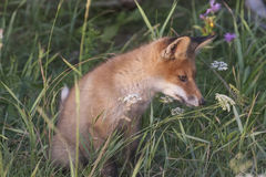 Fox-cub in meadow Stock Images