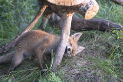 Fox cub playing Royalty Free Stock Photography