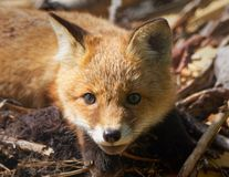 Fox cub portrait Stock Images