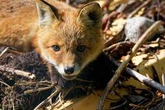 Fox cub portrait Stock Photography