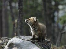 Fox cub sitting on tree stump Stock Photos
