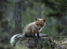 Fox cub sitting on tree stump Stock Photo
