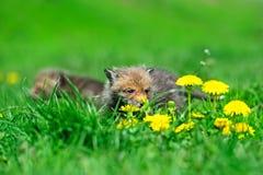 Fox cub Stock Photos