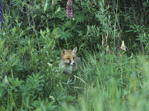 Fox cub standing by bushes Stock Photos