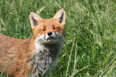 Fox cub with the sun on its face and eyes shut Stock Photos