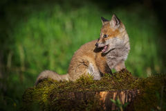 Fox cub in the sun Royalty Free Stock Image