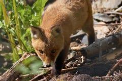 Fox cub Royalty Free Stock Image