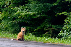 Fox cub waiting for diner Stock Photo