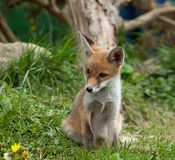 Fox Cub watching Royalty Free Stock Image
