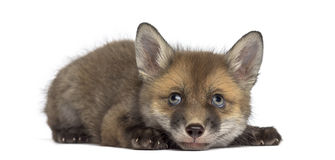 Fox cub (7 weeks old) lying Stock Photography