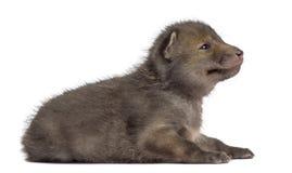 Fox cub (4 weeks old) lying Stock Photo