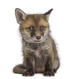 Fox cub (7 weeks old) sitting Royalty Free Stock Images