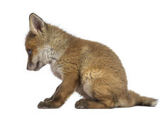 Fox cub (7 weeks old) sitting Royalty Free Stock Image