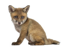 Fox cub (7 weeks old) sitting Stock Images