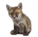 Fox cub (7 weeks old) sitting Stock Photo