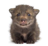 Fox cub (4 weeks old) sitting lying Royalty Free Stock Images