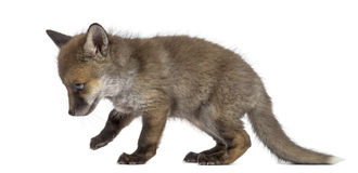 Fox cub (7 weeks old) walking Stock Images