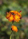 Fox и цветок Cubs одичалый Стоковая Фотография RF