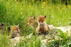 Fox cubs near the den Stock Photos
