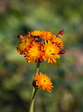 Fox and Cubs Wild Flower Royalty Free Stock Photography