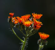Fox and Cubs Wild Flowers. Against dark background Royalty Free Stock Photography