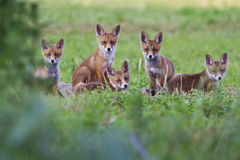 Fox cubs Royalty Free Stock Image