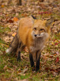 Fox curioso Fotografie Stock Libere da Diritti