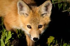 Fox curioso del bebé en Utah septentrional, los E.E.U.U. Imagen de archivo libre de regalías