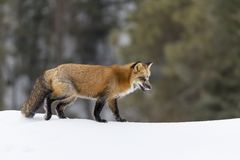 fox czerwień śnieg Zdjęcia Royalty Free