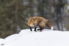 fox czerwień śnieg Fotografia Stock