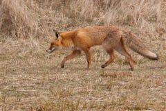 fox czerwień Obrazy Royalty Free