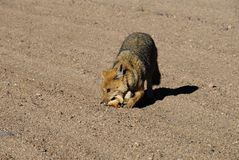 Fox in Dali's desert Royalty Free Stock Images