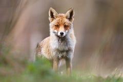 Fox dans la campagne Photographie stock