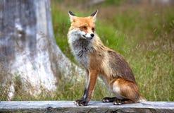 Fox dans la forêt chez haut Tatras, Slovaquie Image libre de droits
