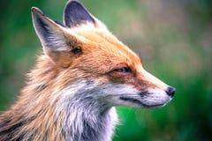 Fox dans la forêt chez haut Tatras, Slovaquie Photographie stock libre de droits