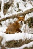 Fox dans la neige Photographie stock libre de droits