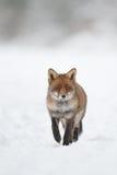 Fox dans la neige Photographie stock