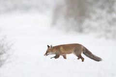 Fox dans la neige Image stock