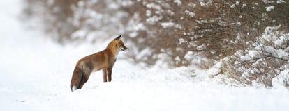 Fox dans la neige Photo stock