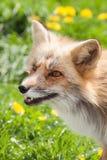 Fox dans le pré Photo libre de droits