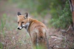 Fox dans le sauvage Photos libres de droits