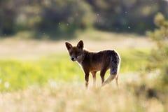 Fox dans le soleil de soirée Photo stock